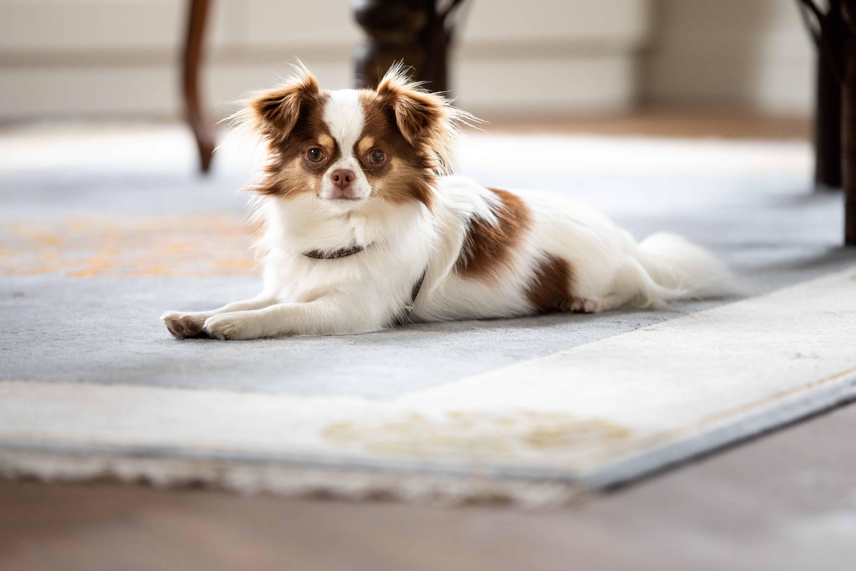 hond op tapijt